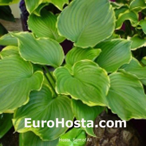 Hosta And Daylilies Eurohostacom