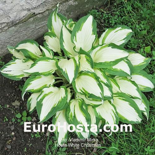 Hosta White Christmas Eurohosta
