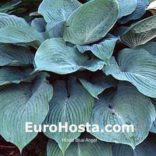 Hosta Blue Angel Eurohosta