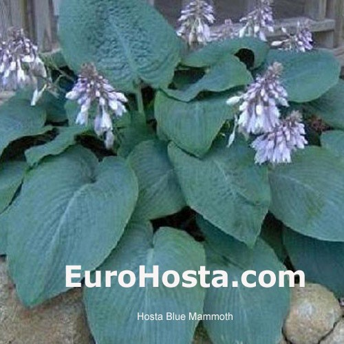 Hosta Blue Mammoth Eurohosta