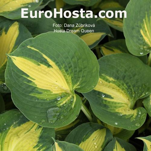 Hosta Dream Queen Eurohosta