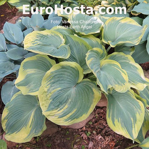 Hosta Earth Angel Eurohosta