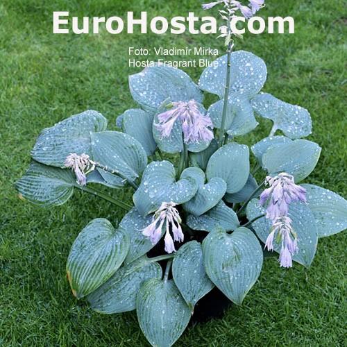 Hosta Fragrant Blue Eurohosta