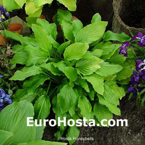 Hosta Honeybells Eurohosta