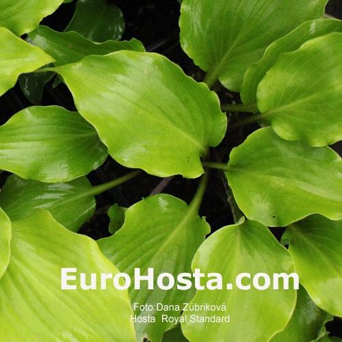 Hosta Royal Standard Eurohosta