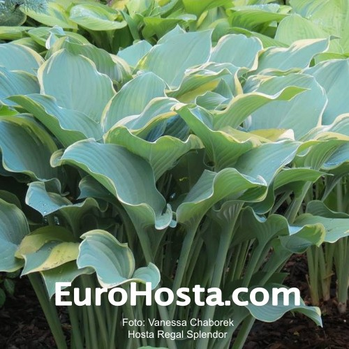 Hosta Regal Splendor Eurohosta
