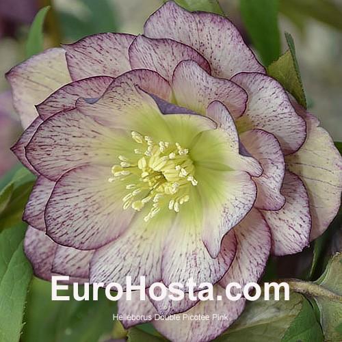 helleborus Hellebore orientalis  Ellen Picotee Double a 9cm pot