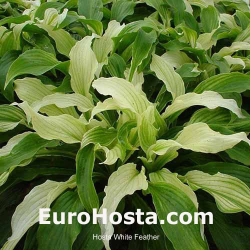 Hosta White Feather Eurohosta